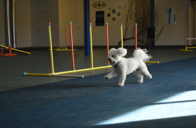 Mav Running the Agility Course